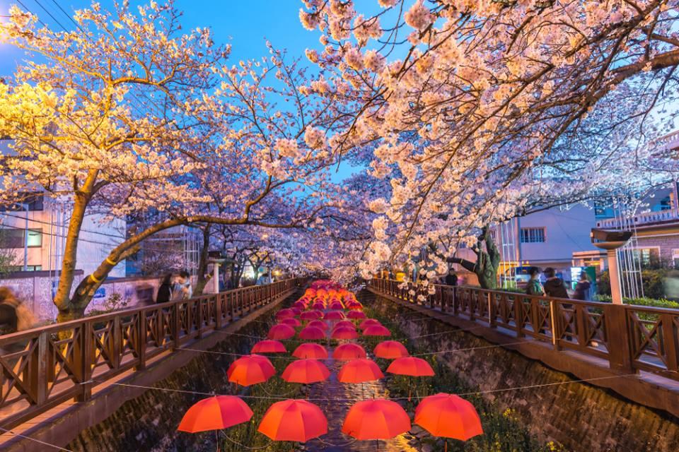 le festival des cerisiers en fleurs de Jinhae Corée du Sud