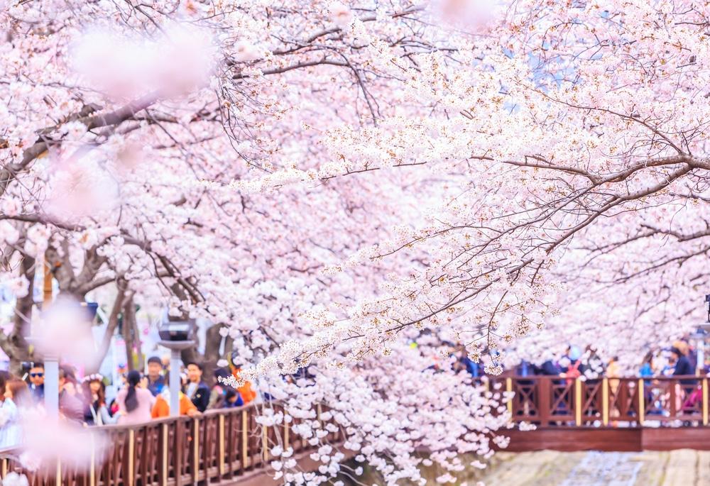 Festival des cerisiers de Jinae Corée du Sud