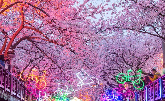 Festival des cerisiers en fleurs de Jinhae Corée du Sud