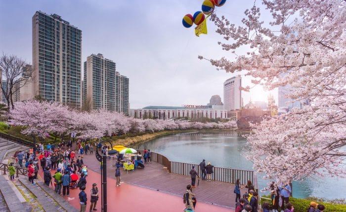 Cerisiers en fleurs Corée du Sud