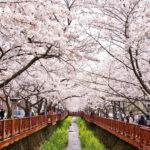 Cerisiers en fleurs de Jinhae Corée du Sud