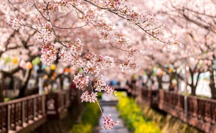 Cerisiers en fleurs Jinhae Corée du Sud