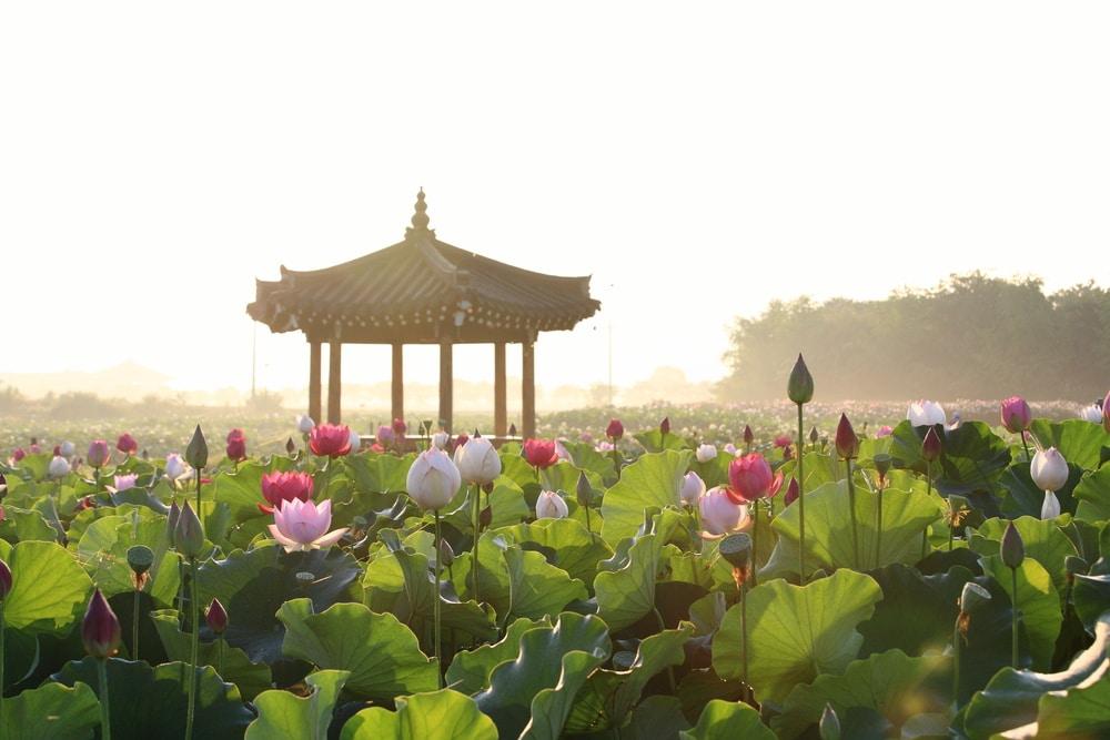 Fleurs de lotus Corée du Sud