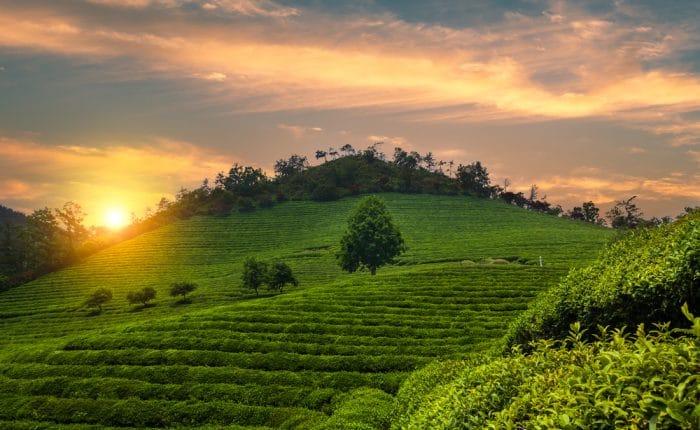 Champs de thé Boseong Corée du Sud