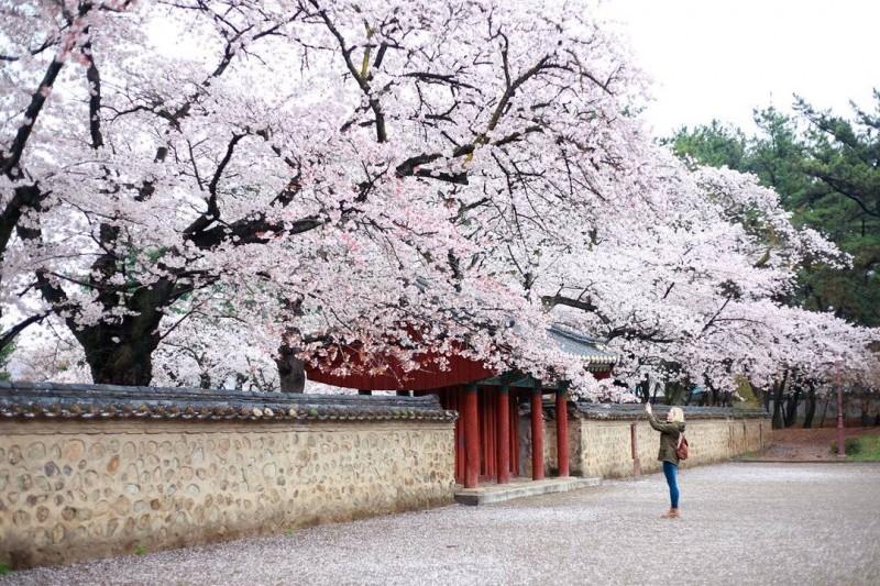 Fleurs de cerisier Corée du Sud