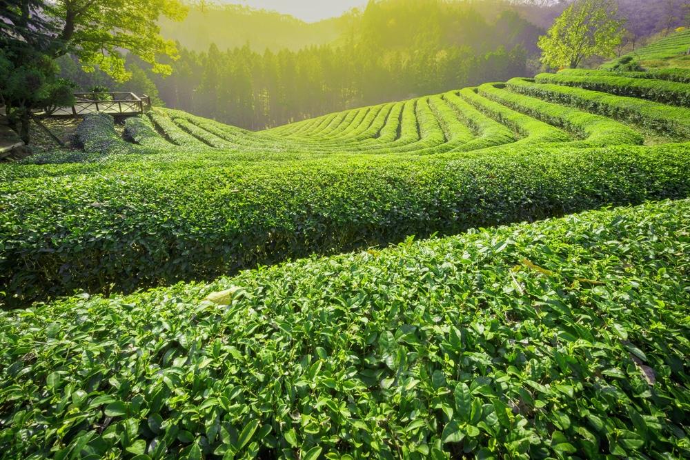 Boseong champs de thé Corée du Sud