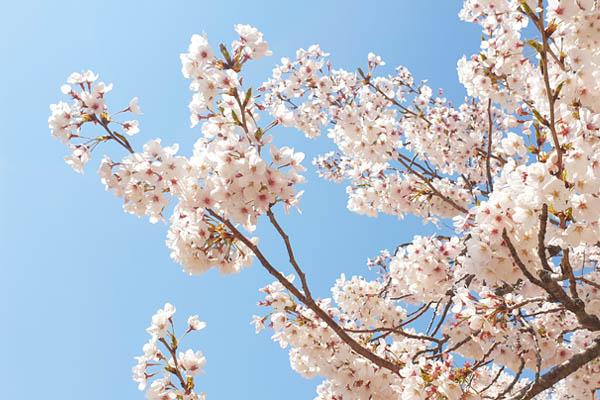blog voyage coree sud cerisier fleurs