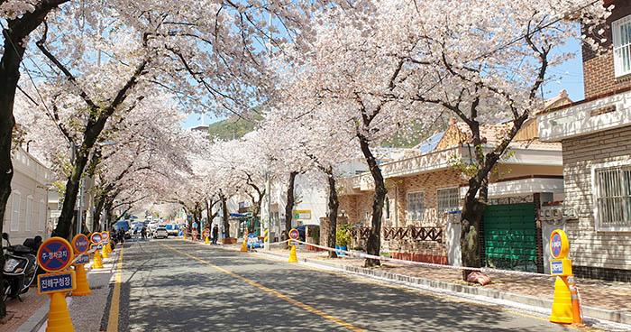 cerisiers corée du sud jinhae ville