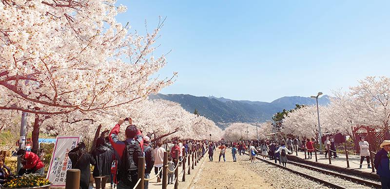 cerisiers jinhae