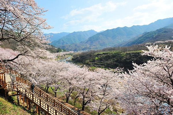 fleur cerisiser hwagae blog