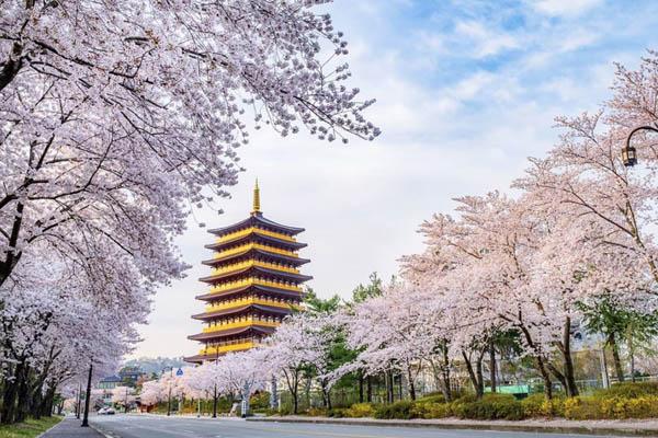 Gyeongju Corée printemps fleur