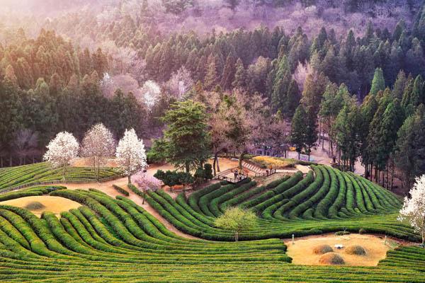 boseong thé printemps