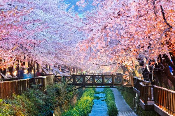 Jinhae festival printemps fleurs